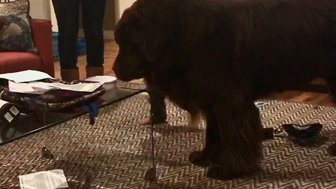 Toddler gets in the way of giant Newfoundland, pays the price
