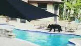 Bear Enjoys an Afternoon Swim in North Carolina Pool - Video