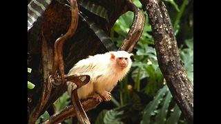 Meet the world's smallest monkeys - Video