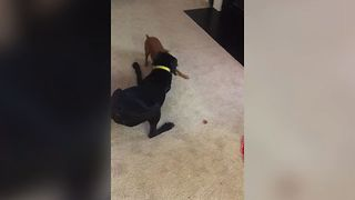 Dog Fails To Guard Treat - Video