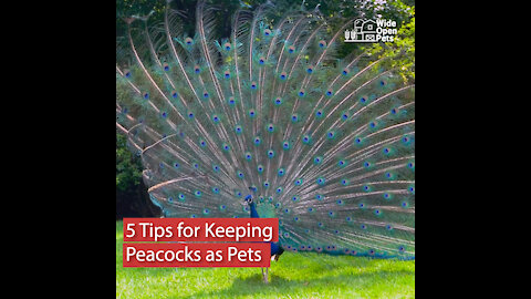 5 Tips for Keeping Peacocks as Pets