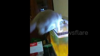 Cat jumps into aquarium to grab at fish - Video