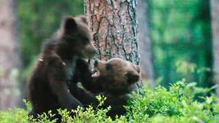 Un-bear-ably cute! Bear cubs play fight with each other - Video