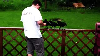 Rescued Baby Crows Return Each Spring To Greet Their Saviors  - Video
