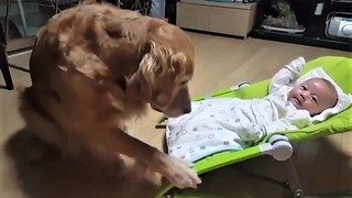 Golden Retriever babysitter gently rocks baby