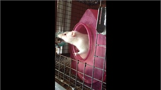 Orphaned baby rats lovingly adopted by foster mom - Video
