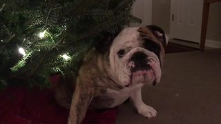 Bulldog doesn't want Christmas to end - Video