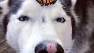 Husky Has Adorable Reaction to Butterfly Landing on Her Nose - Video