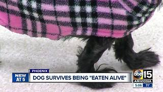 "Valley dog survives being ""Eaten Alive"" - Video"