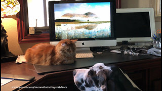 Affectionate Great Dane puppy complicates cat video