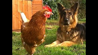 Dog Befriends One-Legged Chicken - Video