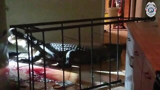 Trappers find gator in Clearwater woman's kitchen