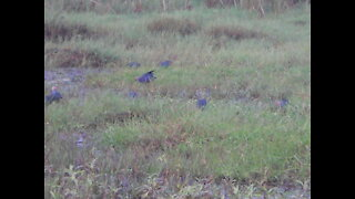 A group of Purple Swamphen
