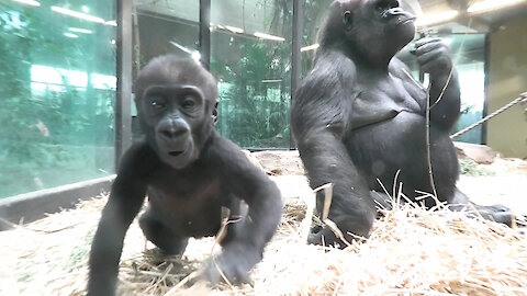 Gorilla mom repeatedly pulls on her baby's leg