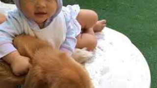 Toddler Plays With Sleeping Golden Retriever - Video