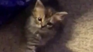 Copycat Kitten Preciously Mimics Owner's Hand Movements - Video