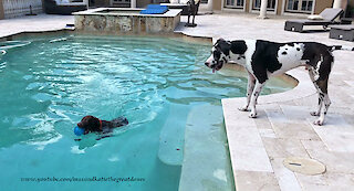 Water-loving dog tries to convince Great Dane to jump in pool