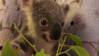 First Orphaned Koala Joey of 'Trauma Season' Munches on Leaves at Australia Zoo - Video