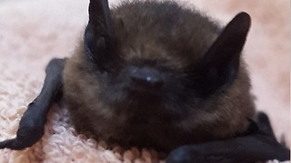 Baby bat heroically rescued from attic - Video