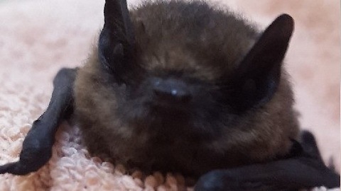 Baby bat heroically rescued from attic