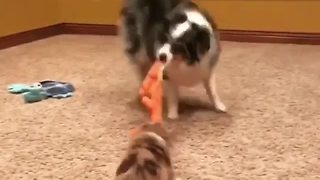 Australian Shepherd entertains puppy with game of tug-of-war