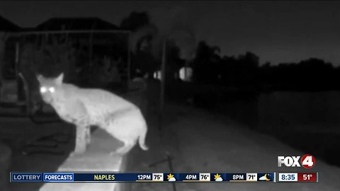 Video captures bobcat in Bradenton backyard, neighbors worry about their pets