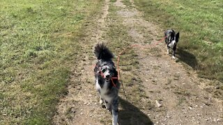 Australian Shepherd pulls Border Collie away from hunting mice