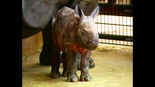 Cute Baby Rhino - Video