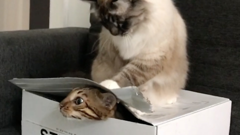 Cats play with empty box in adorable fashion
