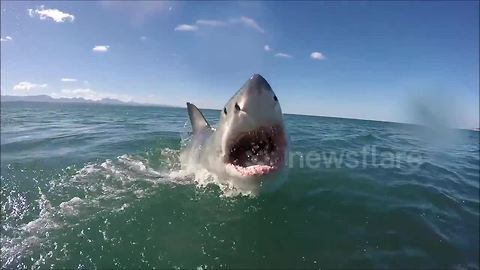 Watch a great white shark lunge right at a GoPro camera as it launches out of the water
