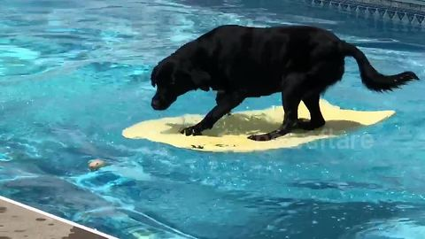 Clever dog crosses pool using bodyboard