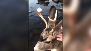 Deer Brings Man Mysterious Donut - Video