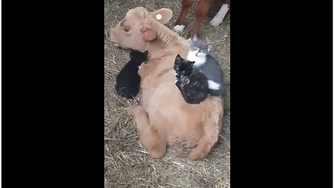 Kittens Like To Snuggle On Top Of Patient Calf