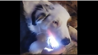 Dog Steals A Flashlight And Refuses To Give It Back