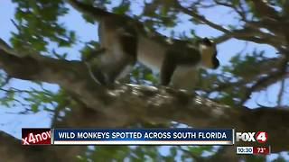 Wild Monkeys Spotted Across South Florida - Video