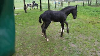 Orphaned foal plays in the rain for the very first time
