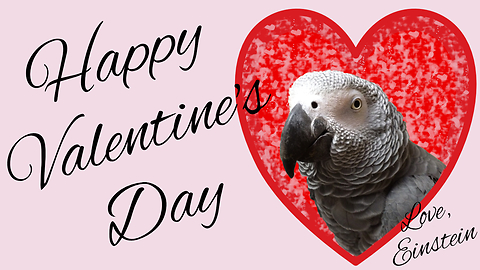 Parrot Tries To Get Owner's Affection For Valentine's Day