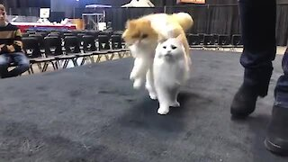 These cats have been trained to repeatedly jump over each other