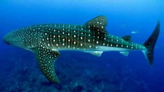 Rare whale shark spotted in Mexico