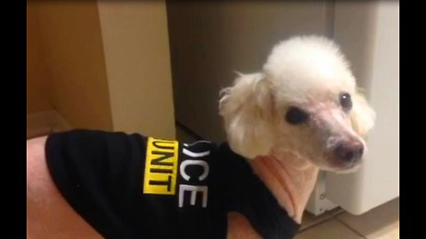 Funny poodle taps on fridge door when hungry