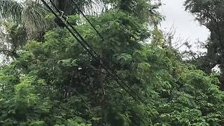 Trees entangled in power lines becoming a problem in Tampa Bay - Digital Short - Video