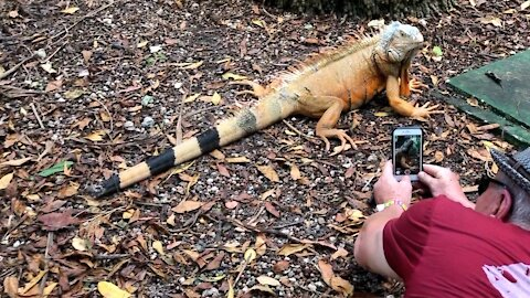 Huge Iguana Stands Motionless For Photoshoot