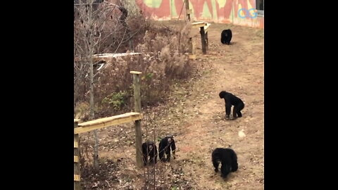 These Chimps Get a Fresh New Healthy Start - Your Daily Diversion