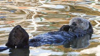 Otter-ly relaxing – Otter chills out on water - Video