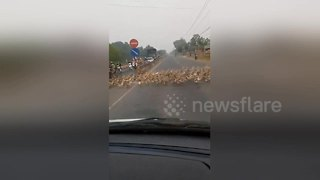 Thousands of ducks block traffic as they cross busy road in Vietnam - Video