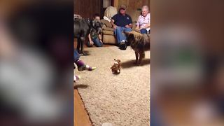 Small Dog Scares Away A Big One - Video