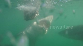 Frenzied Great white shark takes a bite out of smaller shark