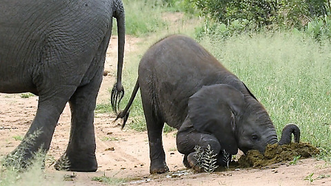 Baby elephant surprisingly takes big bite from mother's dung