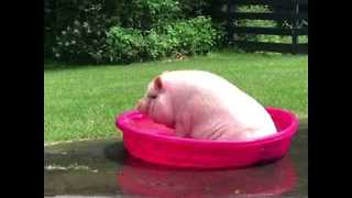 Booty Scootin' Pig Makes Waves - Video