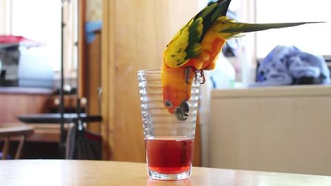 Parrot desperately tries to drink juice